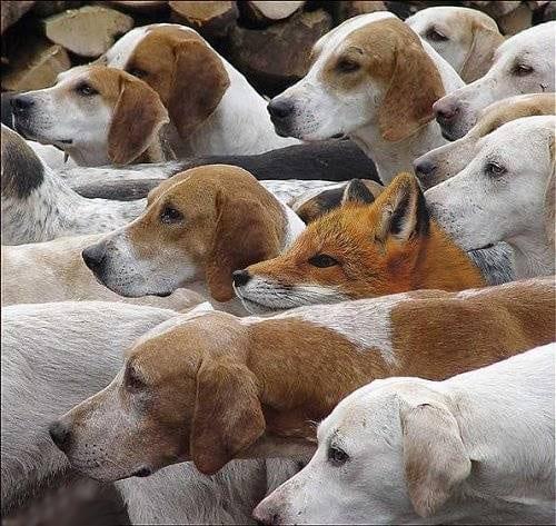 De vos die gevonden wil worden