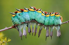 Caterpillar birds
