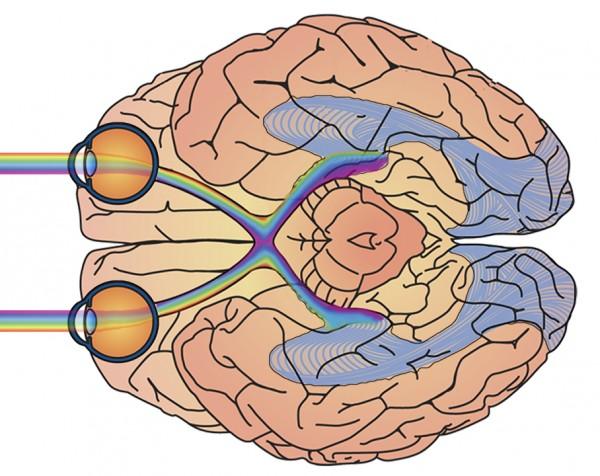Je-visuele-cortex-en-je-ogen-300x238