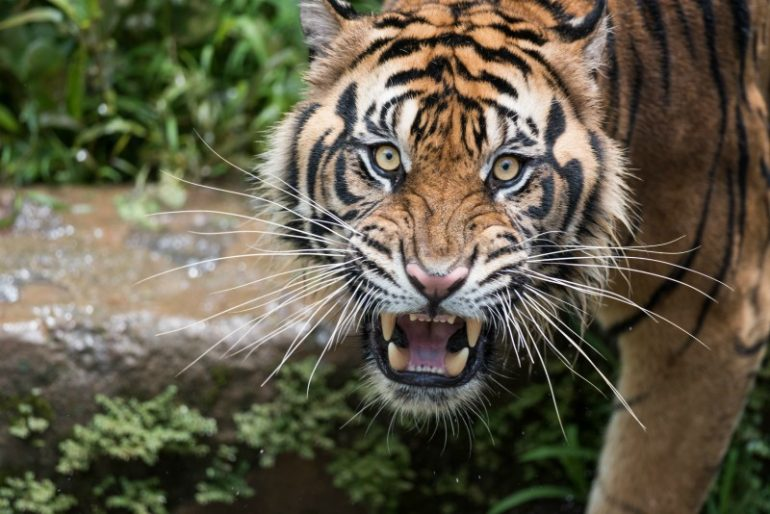 commerciële tijger recruitment