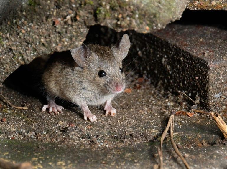Grijze muis.