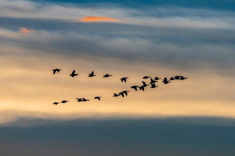 vogels in formatie