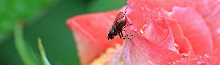 Bromvlieg op roos