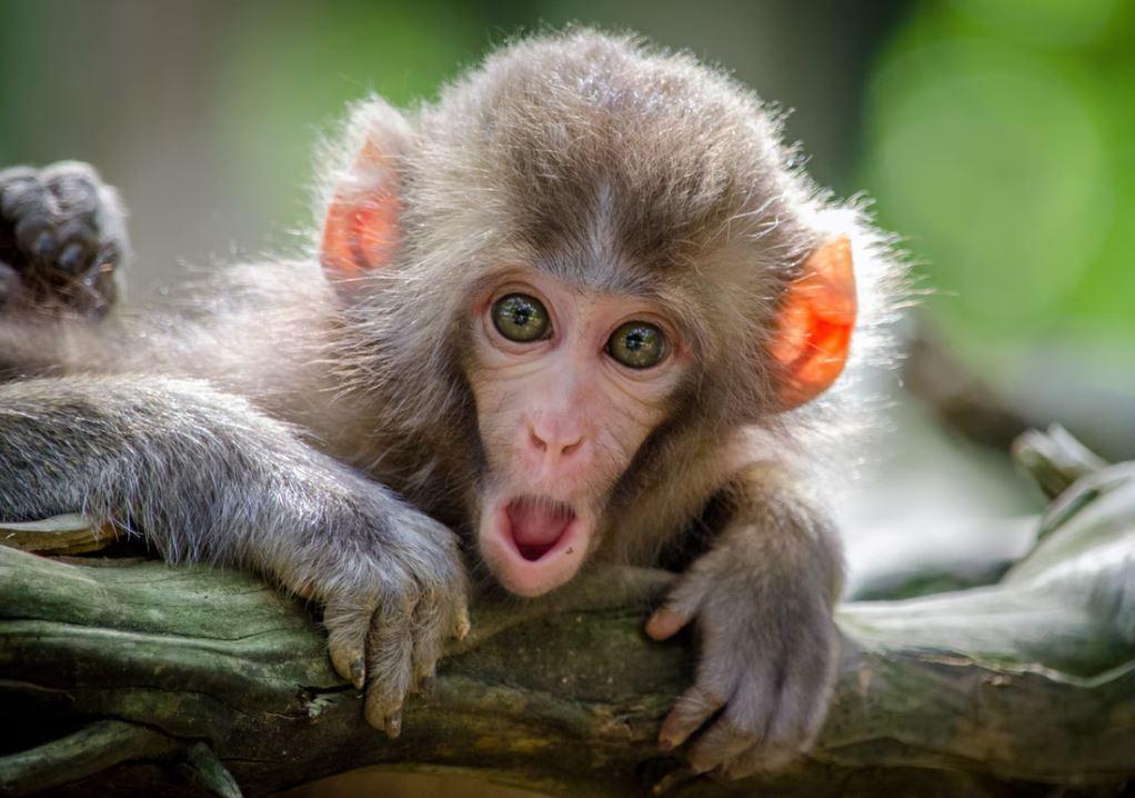 Foto van een aap.